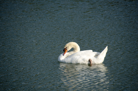 White swan swimming in the natural pond. White Swan swimming in the lake.