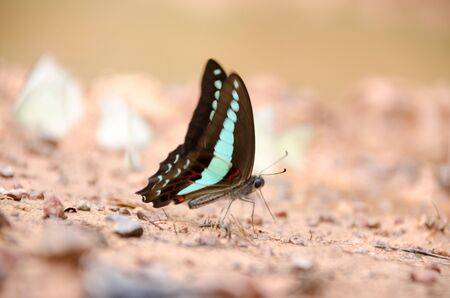 butterflies puddling on the ground and flying in nature, Thailand Butterflies