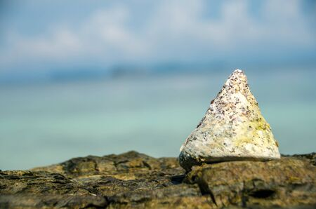 NILE TOP SHELL on the rock beach with nature background,lipe, Thailand