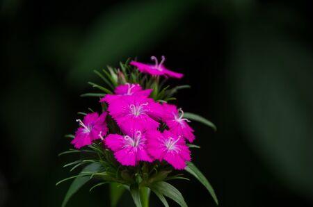 Dianthus flower (Dianthus chinensis) blooming in garden,  Thailand
