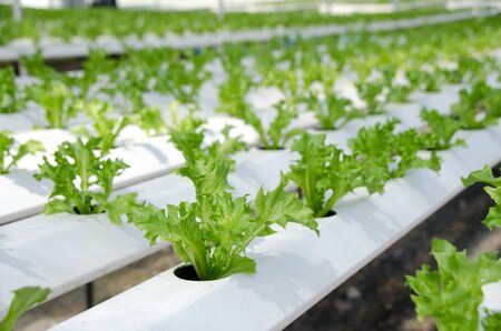 Growing vegetables in a greenhouse. Plantations of green salad. Hydroponics method of growing plants using mineral nutrient solutions, in water, without soil. Close up planting hand Hydroponics plant