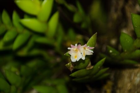 Dendrobium ellipsophyllum is beautiful flower and have white,White orchid in nature, Phu Soi Dao National Park
