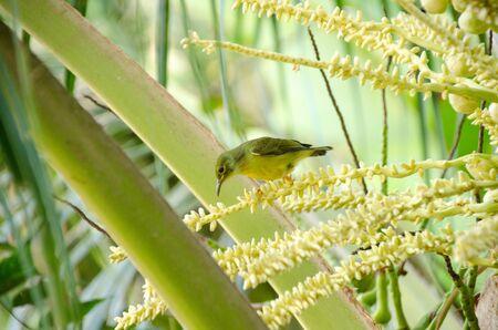 Bird feeding on the flowers of coconut tree. Brown throated sunbird on flowers of palm tree Reklamní fotografie