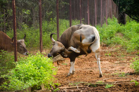 Bos javanicus, cow, Banteng, southeast Asia wild life animal in Thailand forest