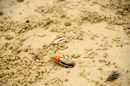 Fiddler crab is on tidal flat mangrove area, Thailand.