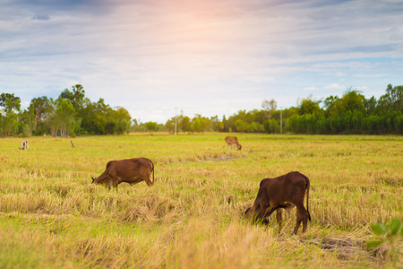 Fields fed cattle and brown cows, grasses in the fields, harvested,Cow farming in the field is finished. Stock Photo