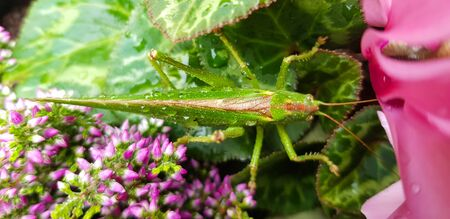 A close up of a grasshopper with raindrops on green leaves.