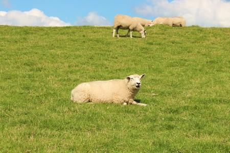 dike: sheeps on the dike Stock Photo