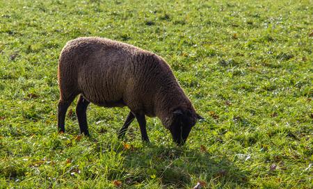 subsidize: sheep on a pasture Stock Photo