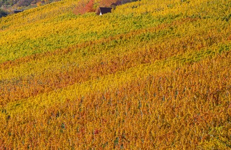 coloration: Vineyard with autumnal leaf coloration