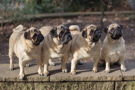 pedigree: Four pedigree dogs, pug dogs Stock Photo