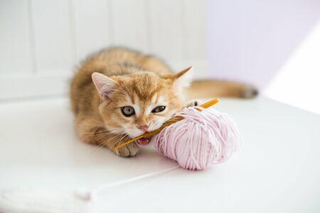 Un petit chaton rouge allongé sur le sol blanc avec un fond en bois blanc grignotant un crochet Banque d'images