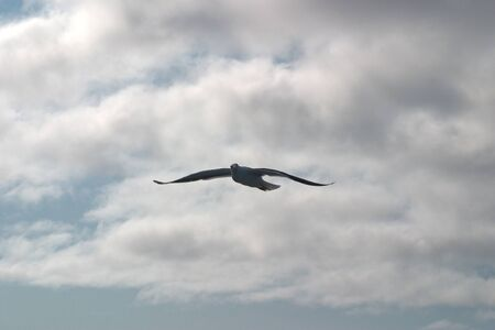 A black and white Seagull soaring in the blue sky