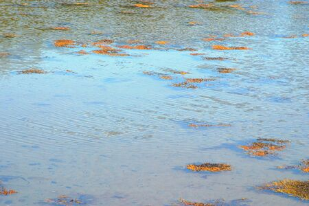 Marine shallow water with floating kelp algae. White sea.