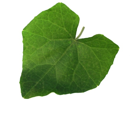 avocation: leaves of wax guord