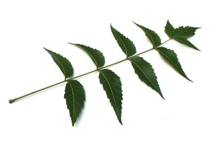 neem: neem leaves