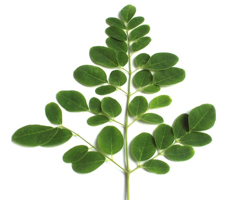 ben oil: Edible moringa leaves over white background Stock Photo