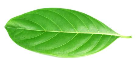 malungay: Herbal decorative leaves