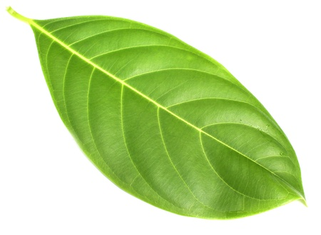 drumstick tree: Herbal decorative leaves