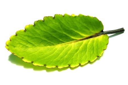 kalanchoe or pathor kuchi Stock Photo