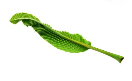 leaves of elephant pple