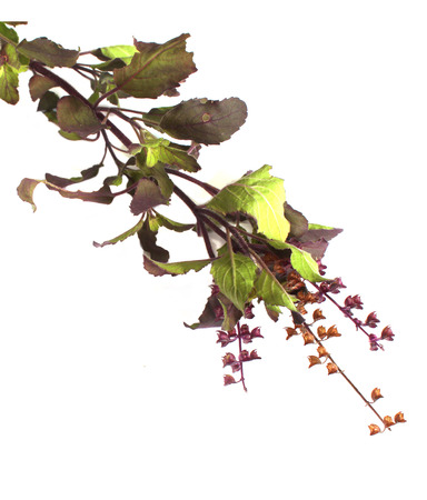 tulasi: Medicinal holy basil or tulsi leaves