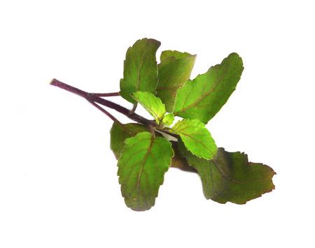 tulsi: Medicinal holy basil or tulsi leaves