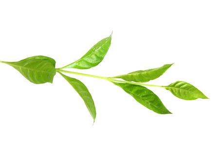 medicinal neem leaves photo