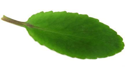 kalanchoe leaves