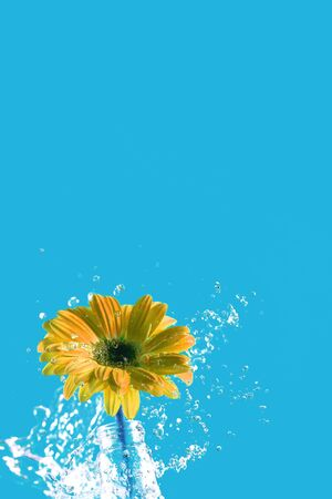yellow gerbera flower with water splash on blue background