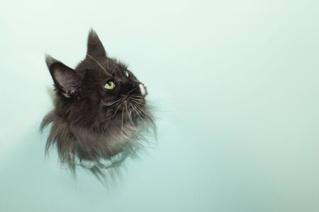 black head of the cat breed Maine Coon gets out of the hole