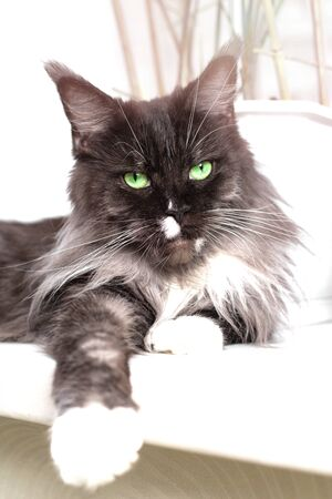 black cat Maine Coon lies on the windowsill with green eyes and looks into the camera