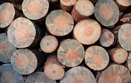 illegal logging: Pine logs harvested in the winter as solid fuel Stock Photo