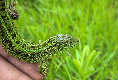 pet valuable: Lagarto de arena en la inyecci�n de cerca