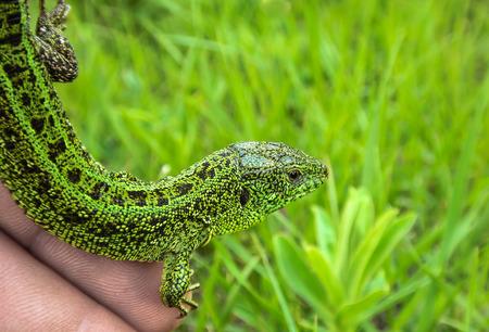 pet valuable: Sand lizard in closeup shot  Stock Photo