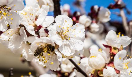 the bee: La apicultura en el jardín. Una abeja recoge el néctar en una rama en flor de albaricoque. El trabajo duro en un día soleado de primavera. Ucrania Foto de archivo