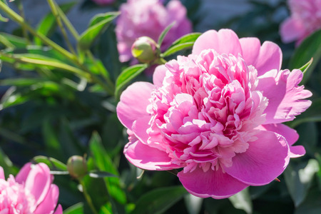 sexual selection: Fragrant peony Stock Photo