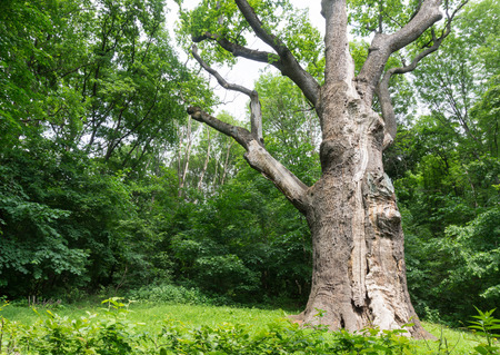 well maintained: The oldest oak in Europe. Oak Maxim Zalizniak - more than 1100 years Stock Photo