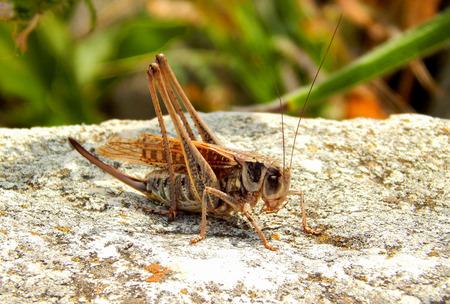 voracious: Locusts in the mating season Stock Photo