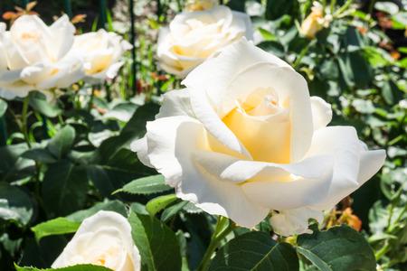 english rose: White English rose in the garden Stock Photo