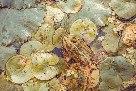 grenouille: Plus grosse grenouille d'eau douce sur le fond d'un ancien �tang des zones humides