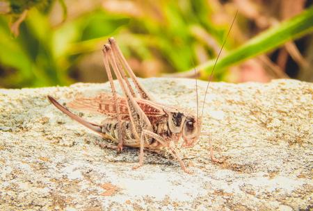 voracious: Largest individual cicadas during the mating period. Ukraine, Crimea Stock Photo