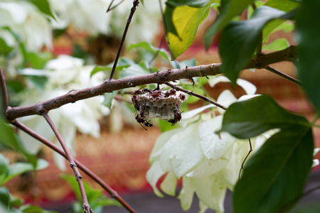 uniting: Wasp build its hive at branch of tree
