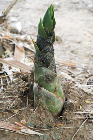 germinate: Bamboo shoots is pop on the ground