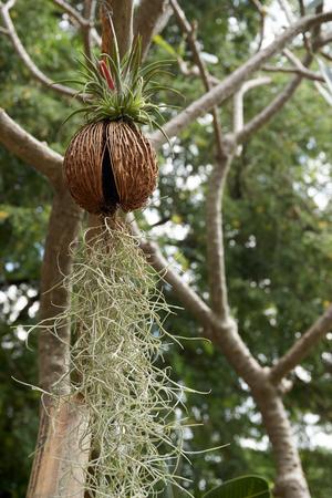 spring green: Spanish moss hang on tree branch in garden Stock Photo