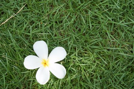 champa flower: White Champa flower on grass in garden