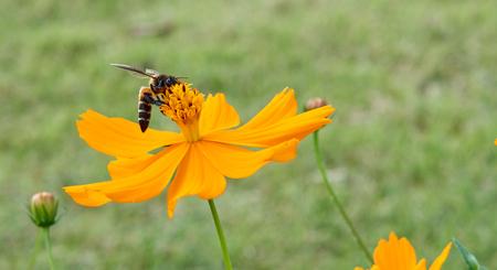 juntar: Abeja recoge el polen de la flor de color amarillo para hacer la miel