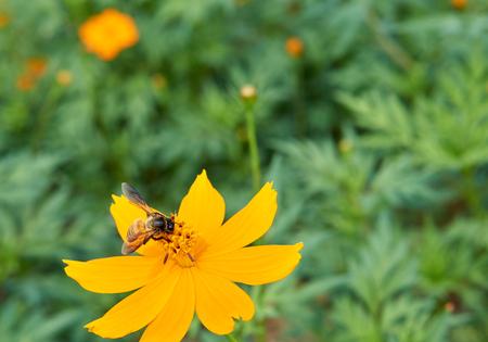 recoger: Abeja recoge el polen de la flor de color amarillo para hacer la miel