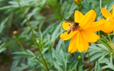 cobrar: Abeja recoge el polen de la flor de color amarillo para hacer la miel