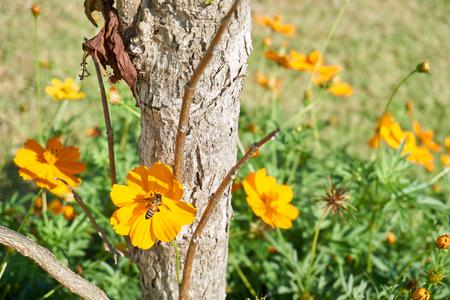 cobrar: Abeja recoge el polen de la flor de la maravilla el �rbol amarillo Foto de archivo